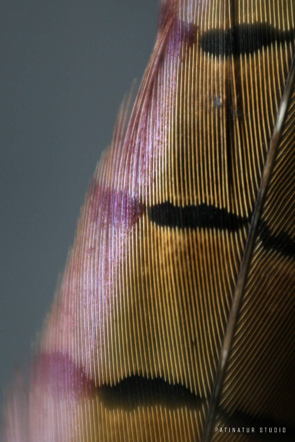 Photo art | Abstract close-up of a pheasant feather.