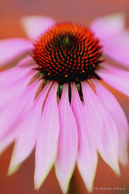 Photo art | Abstract close-up of Echinacea Purpurea